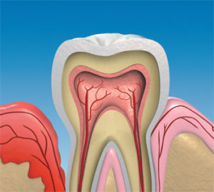 Image of Inside of Tooth and Gums
